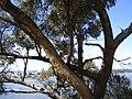 Eucalyptus gomphocephala in Kings Park trunks closeup.jpg