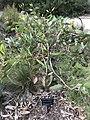 Eucalyptus sweedmaniana.jpg