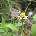 Euchrysops cnejus - Gram Blue 05.jpg
