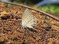 Euchrysops cnejus Fabricius, 1798 – Gram Blue at Aralam Wildlife Sanctuary 2016 (6).jpg
