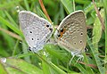 Euchrysops cnejus Fabricius, 1798 – Gram Blue mating at Madayippara (6).jpg