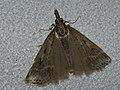 Eudonia pallida (25974224747).jpg