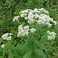 Eupatorium perfoliatum SCA-04380.jpg