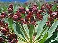 Euphorbia atropurpurea (Euphorbiaceae) (4).jpg