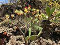 Euphorbia atropurpurea Tenerife 1.jpg