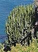 Euphorbia canariensis qtl1.jpg