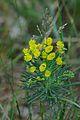 Euphorbia cyparissias Blüten.JPG
