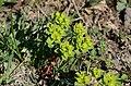 Euphorbia helioscopia.jpg