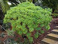 Euphorbia lambii - La Gomera (21575388238).jpg