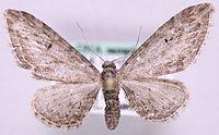 Eupithecia ochridata.jpg