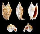 Euprotomus bulla 01.JPG