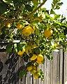 [Image: 96px-Eureka-lemon.jpg]