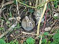 European Rabbit (Oryctolagus cuniculus) (4518734625).jpg