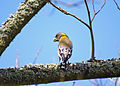 Evening grosbeak female reesman odfw (15595058696).jpg