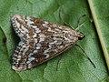 Evergestis frumentalis - Луговая огнёвка крестоцветная (26965682088).jpg