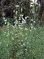 Fagopyrum esculentum, Boekweit (1).jpg