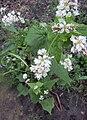 Fagopyrum esculentum, Boekweit bloemen (2).jpg