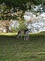 Fallow Deer, Studley Park - geograph.org.uk - 1024935.jpg