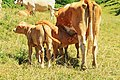 Family Of Cows (163646787).jpeg