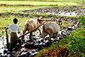 Farming, Myanmar.jpg