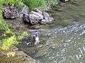 Fast ein Paradies, wenn der Mensch nicht wäre - ein für die Stadt untypischer Vogel, die Wasseramsel04.jpg