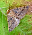 Feathered Thorn. Male - Flickr - gailhampshire.jpg