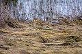Feldlerche (Alauda arvensis) auf Norderney - Nationalpark Niedersächsisches Wattenmeer.jpg