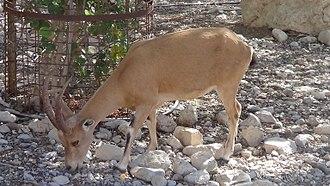 Nubian ibex - Female