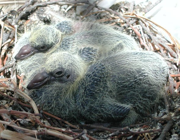 Feral Rock Dove nest with chicks