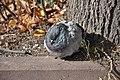 Feral pigeon in Zelenograd 03.jpg