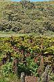 Fernbush plant communities dominated by the endemic tree-fern Blechnum palmiforme.jpg