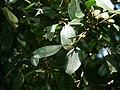 Ficus microcarpa P1130327 02.jpg