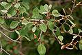 Ficus mollis in Keesaraguda, AP W IMG 9134.jpg