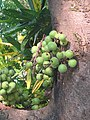 Ficus racemosa fruits at Makutta (6).jpg