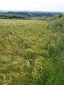 Field of barley near Sherford Cross - geograph.org.uk - 1363592.jpg