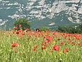Field poppy - Papaver rhoeas - panoramio (3).jpg