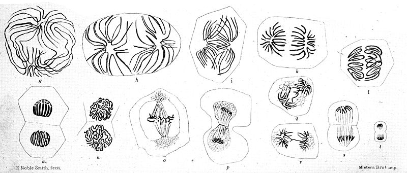 File:Figures showing cell division. Wellcome M0016974.jpg