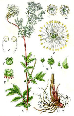 History of aspirin - Spirea, or meadowsweet, is the German namesake of Spirsäure (salicylic acid), and ultimately aspirin.