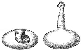 Cysticercus larval tapeworms of the genus Taenia