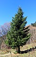 Fir-tree in Cuacasus.JPG