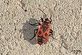 Firebug (NH) (14326452658).jpg