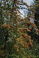 Firethorn Pyracantha tree Rhodes Arts Complex Museum Theatre Bishop's Stortford Hertfordshire England.jpg
