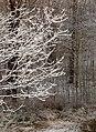 First snow on oak tree.jpg