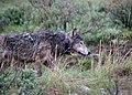First wolf radio collared odfw (16671812974).jpg