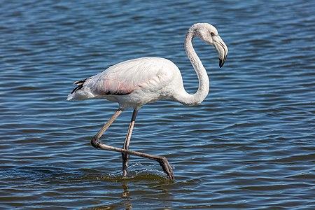 Greater flamingo (Phoenicopterus roseus), Walvis Bay, Namibia