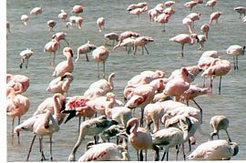 Flamingoes on Lake Abiyatta.jpg