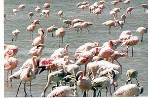 Lake Abijatta - Flamingoes on Lake Abiyatta.