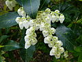 Fleur à clochette blanche.JPG