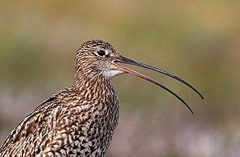 Flickr - Rainbirder - Curlew (Numenius arquata).jpg
