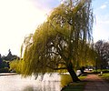 Flickr - ronsaunders47 - The weeping Willow..1.jpg